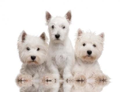 Westie Trio