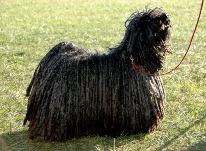 The Puli is a rare but recognised AKC breed.