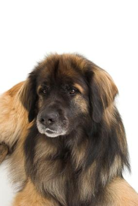 Leonberger Puppies on Leonberger Dog