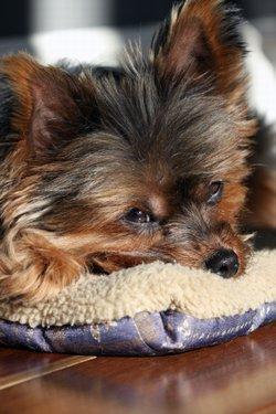 Sick little Terrier female
