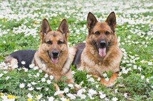A pair of German Shepherds