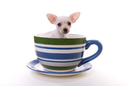 Chihuahua in tea cup