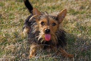 Chorkie Dogs Full Grown Images & Pictures - Becuo