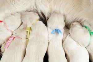 Newborn puppies identified by ribbons