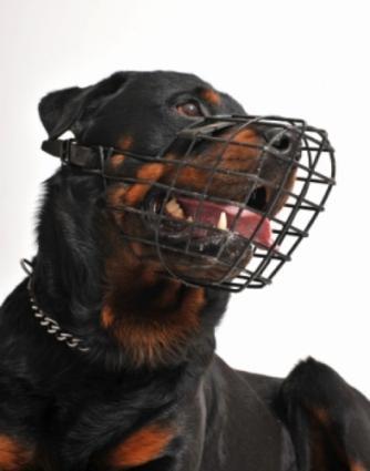 Muzzled Rottweiler
