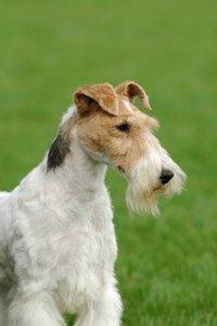 Pictures Of Wire Haired Fox Terrier Slideshow