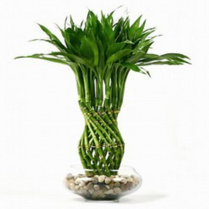 Pictures of lucky bamboo arrangements slideshow