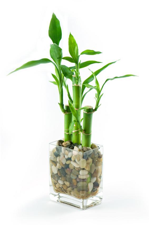 Pictures of lucky bamboo arrangements slideshow - Indoor desk plants ...