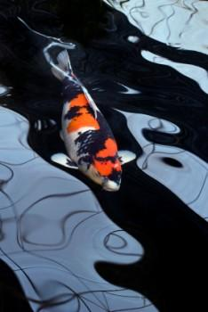 feng shui koi fish color symbol and meaning