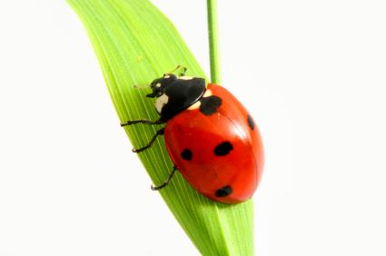 How To Bring Good Luck ladybugs bring good luck