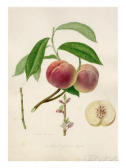 William Hooker Peach Print
