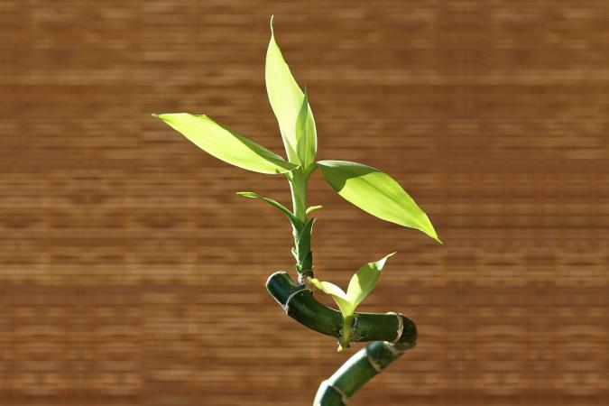 Lucky bamboo in sunlight