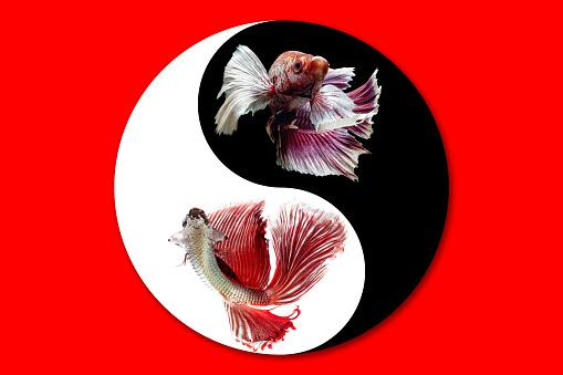 Betta fish in Yin Yang symbol