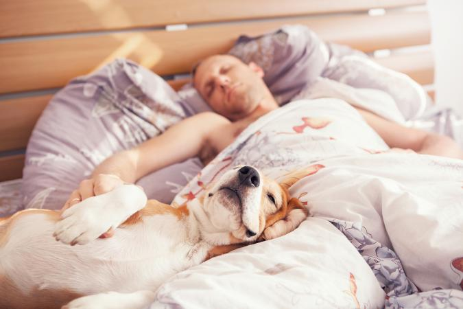 Beagle dog sleeping with owner in bed