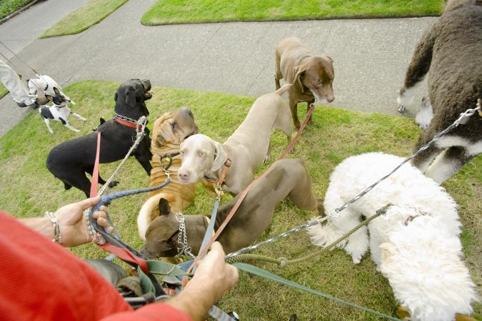 A lot of dogs on leashes