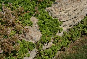 sedum growing on stone wall
