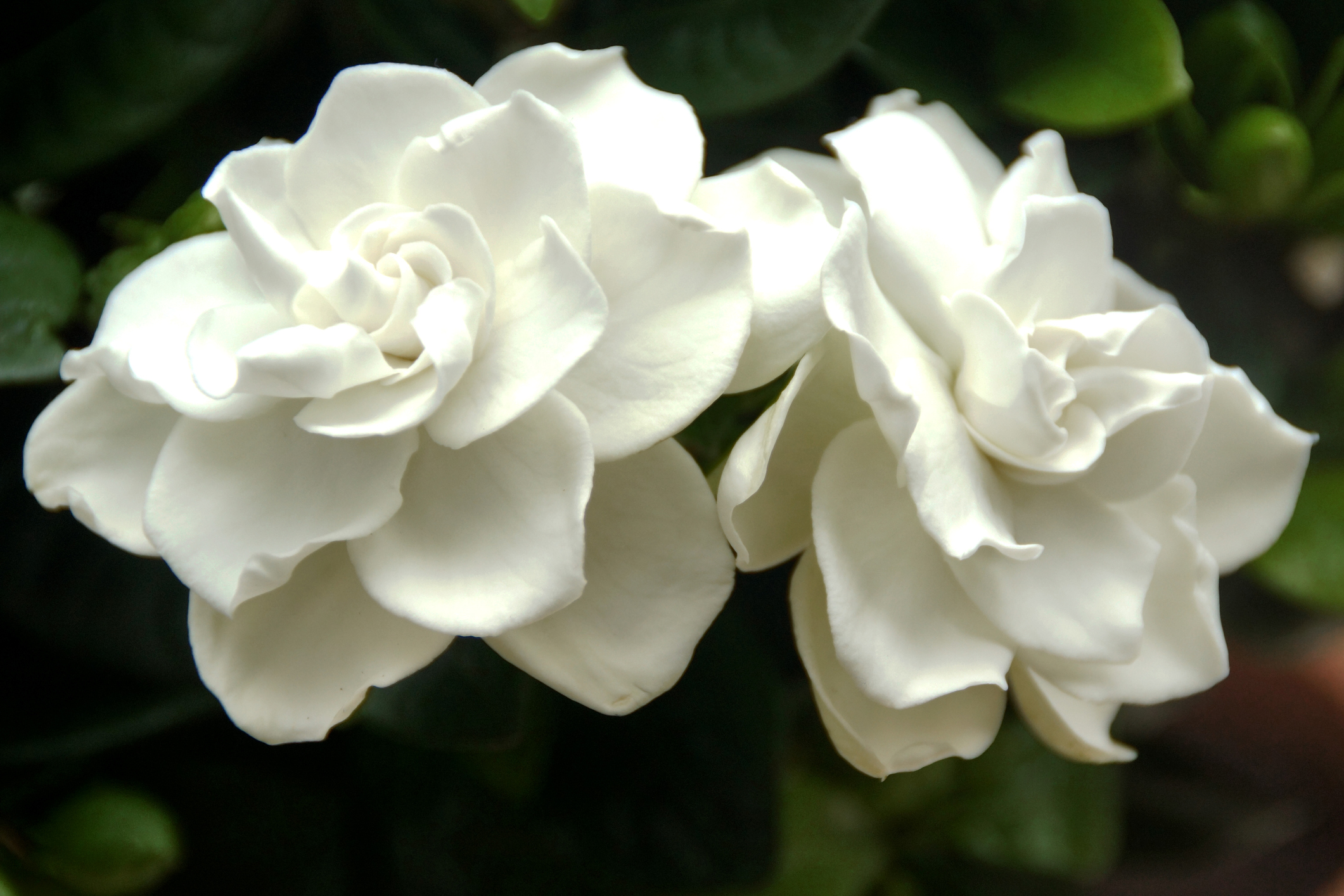 gardenia plant care, Natural flower