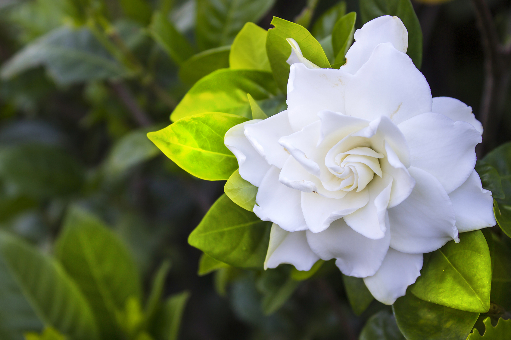 The meaning of your bouquets flowers glam gowns blog gardenia the meaning of your bouquets flowers faviana mightylinksfo