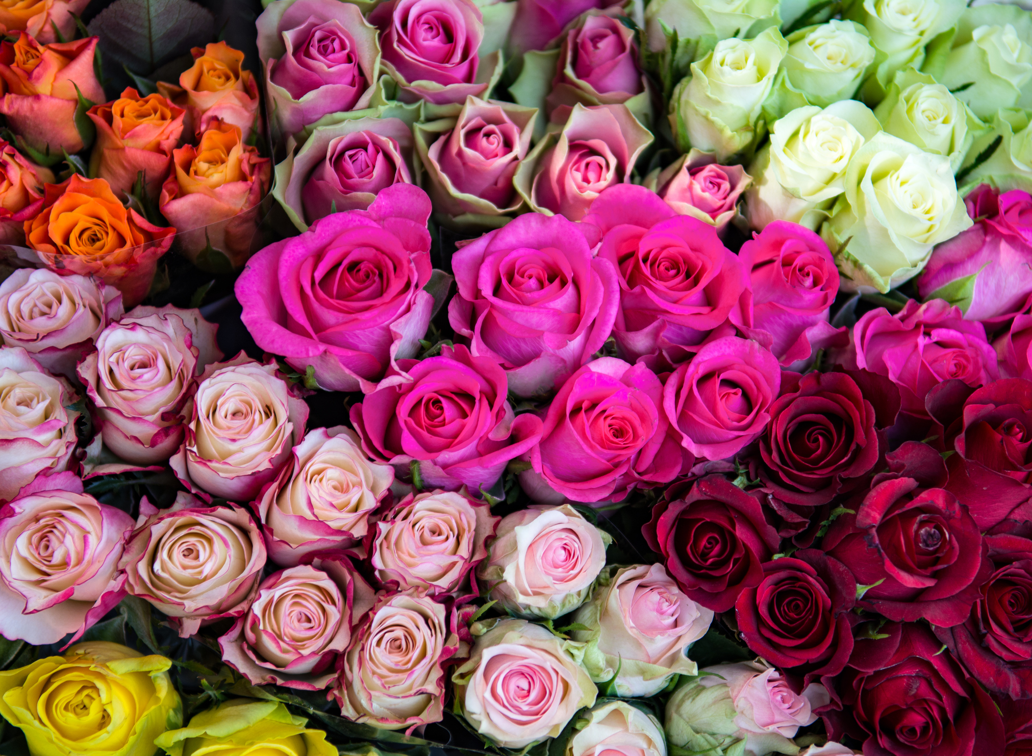 Meaning of pink rose in hindi Colors that go with rose pink