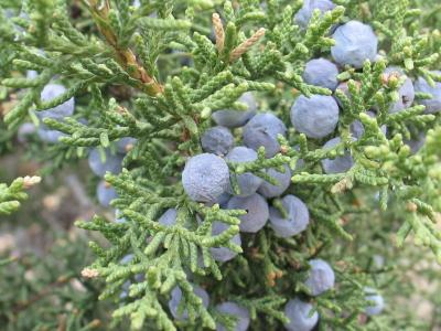 pictures of different types of evergreen shrubs, Natural flower