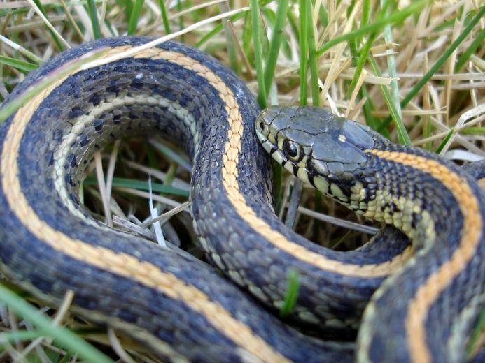 What Do Garden Snakes Eat Slideshow
