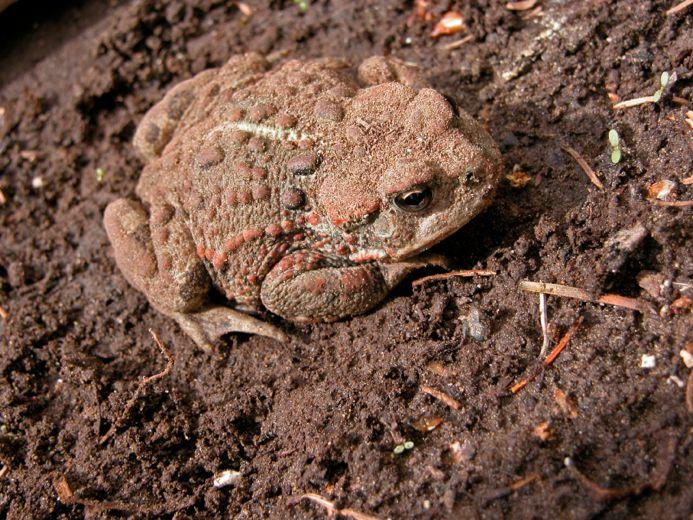 What Do Common Toads Eat