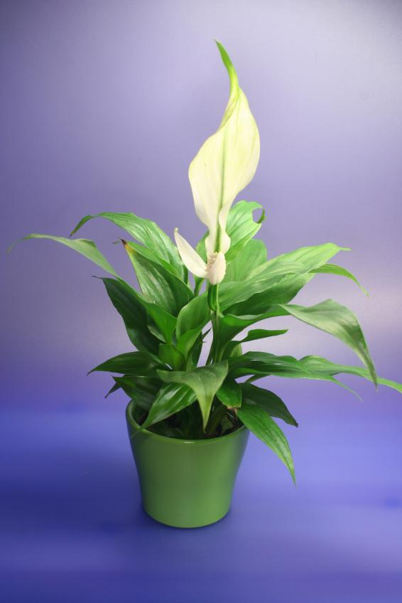 indoor plants for shade, Natural flower