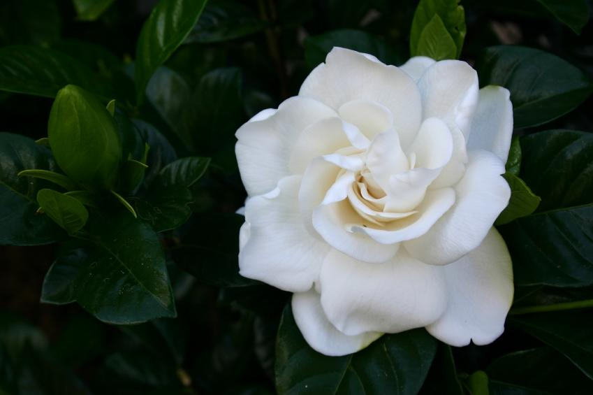 gardenia varieties, Beautiful flower