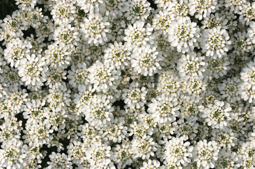 Candytuft Flower Picture Spring Flowers Candytuft