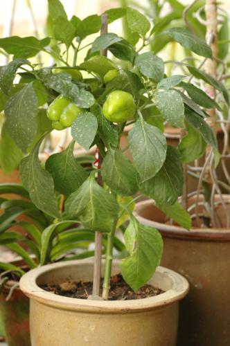 کاشت فلفل سبز دلمه در گلدان