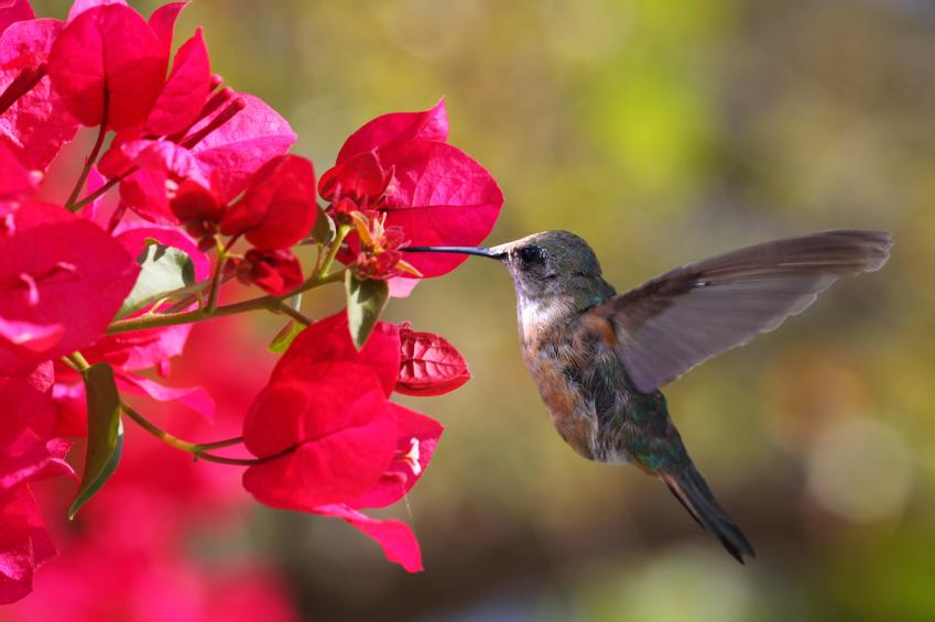 hummingbird seeking nectar