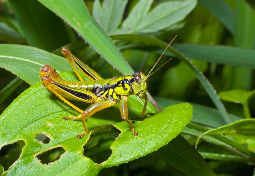 What do grasshoppers eat and drink - photo#4