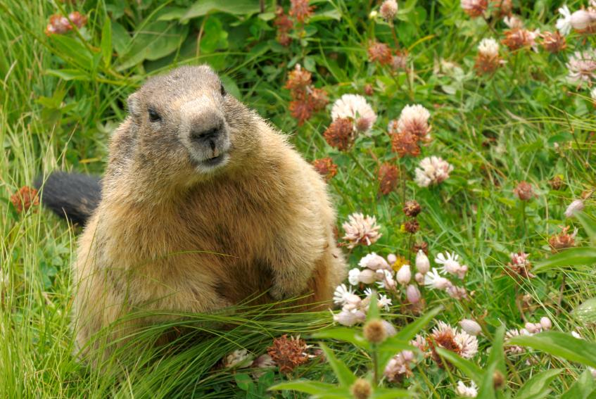 Groundhogs groundhogs look cute and cuddly but they love to