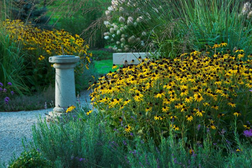 blackeyed susans and ornamental grasses