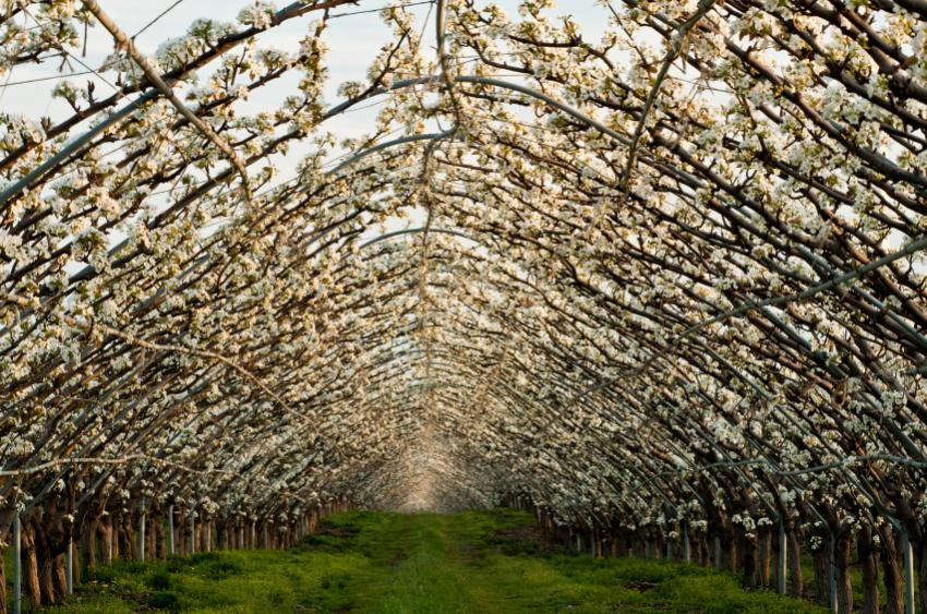 flowering pears trained over arbor tunnel