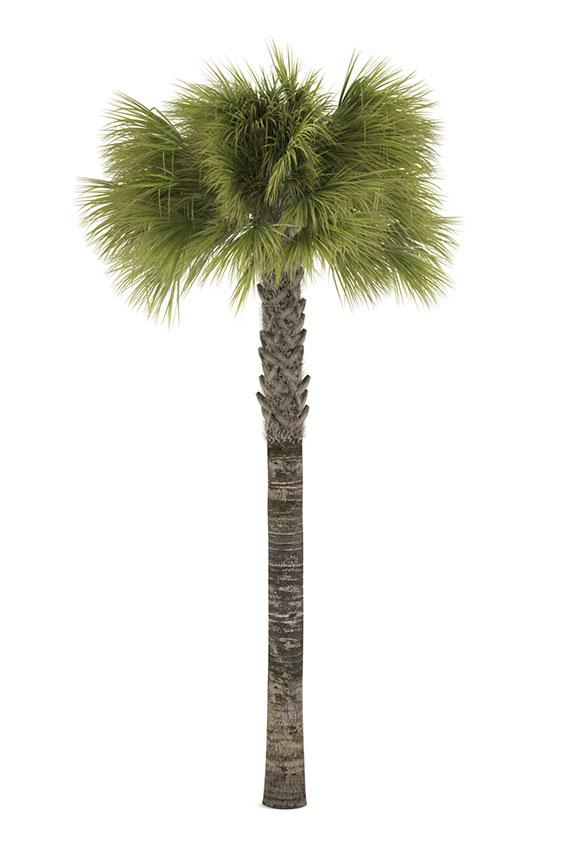 Pictures of Different Types of Palm Trees