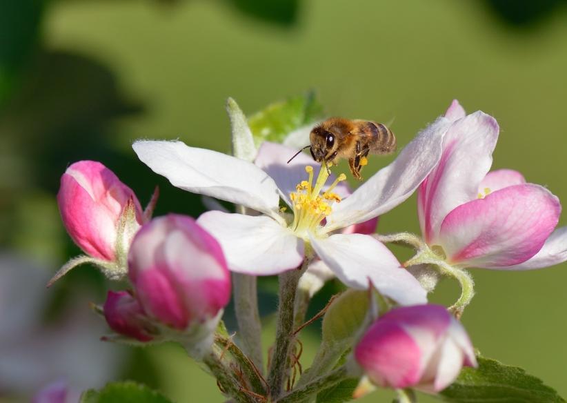 honeybee on an apple tree