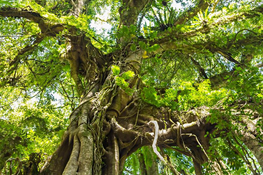 banyan with aerial roots