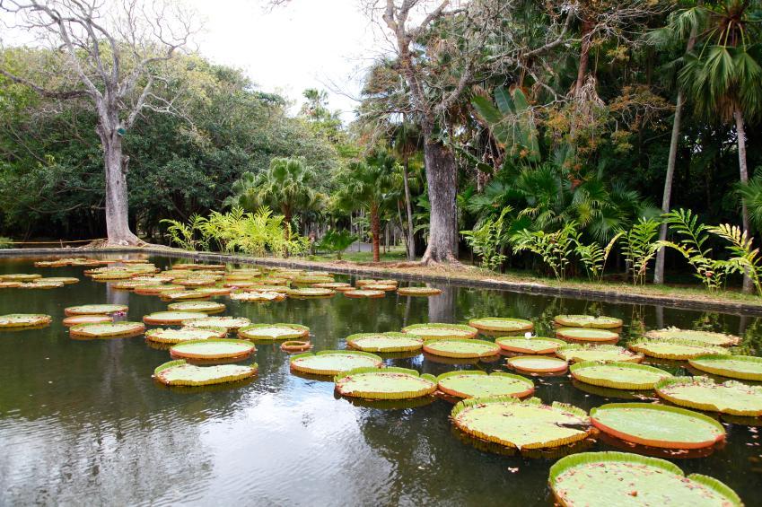 Amazonian lilies