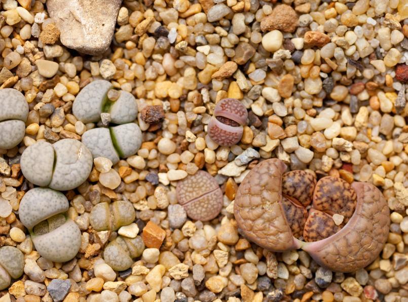 lithops stone succulent