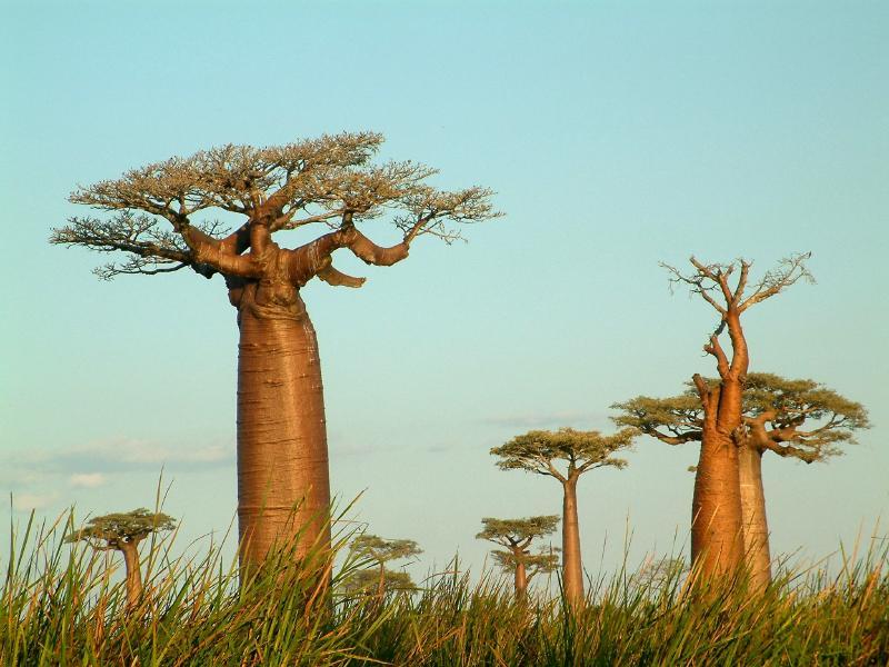 giant baobab trees