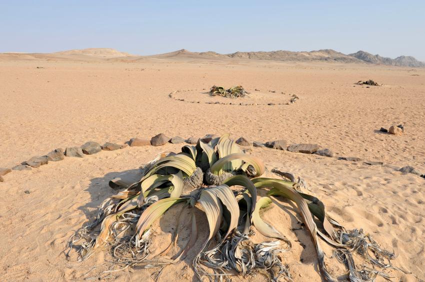 African welwitschia plants