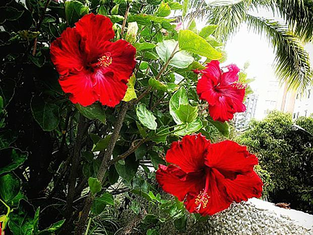 Red tropical hibiscus flower