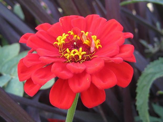 Red zinnia flower