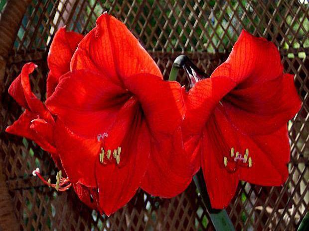Red amaryllis flowers