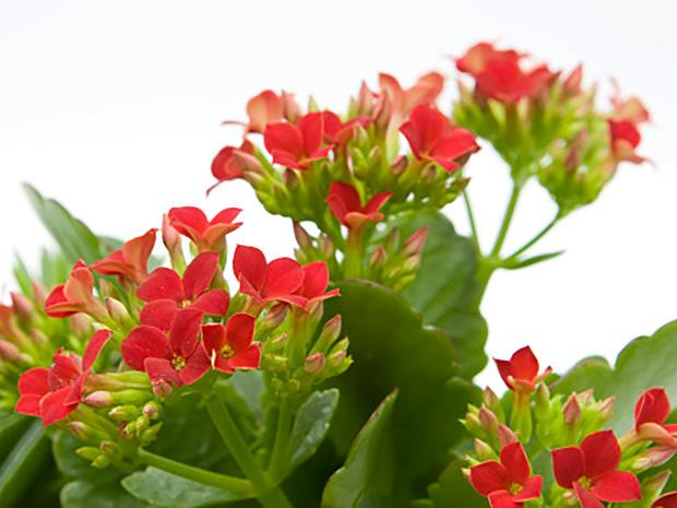 Red kalanchoe blooms