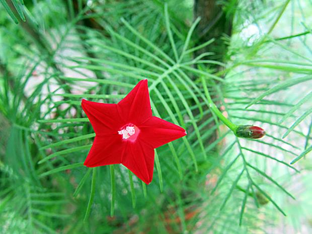 Red cypress vine flower