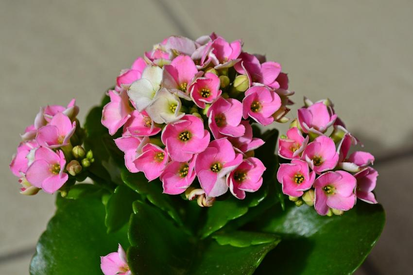 Common Flowering Houseplants Slideshow