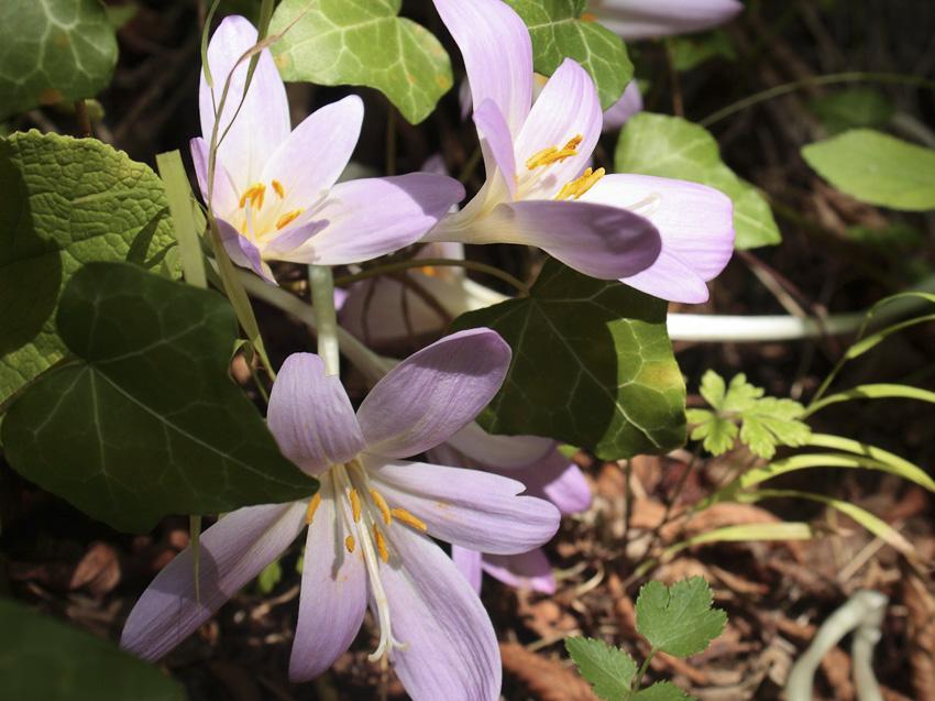 Colchicum autumnale // Colchicum