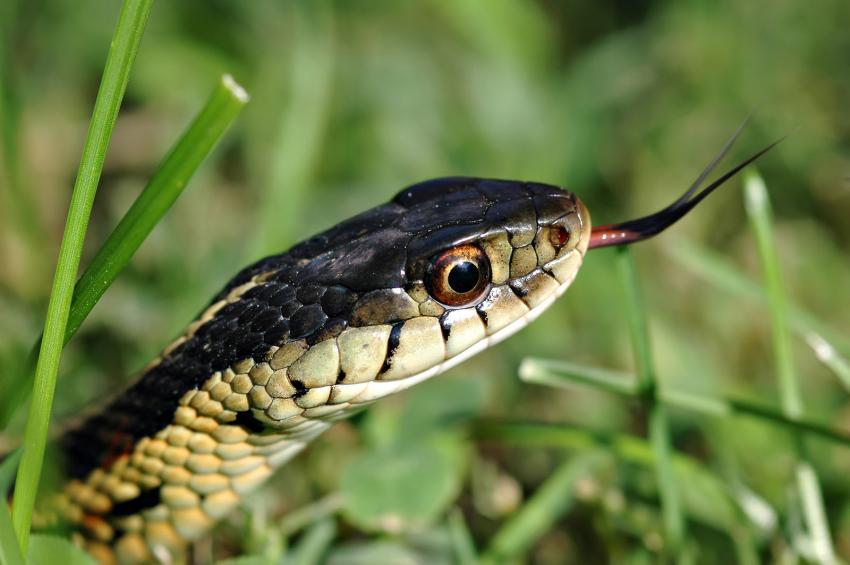 garter snake in garden